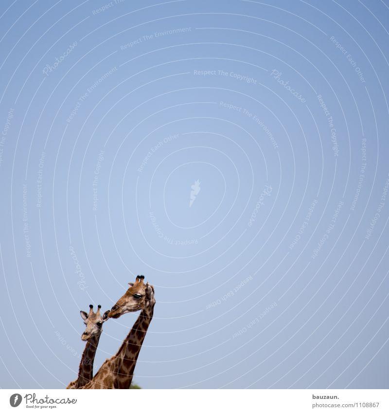 wooohin? Himmel Natur Ferien & Urlaub & Reisen schön Sommer Sonne Tier Wärme Tourismus Wildtier Tierpaar stehen Ausflug beobachten Wolkenloser Himmel Afrika