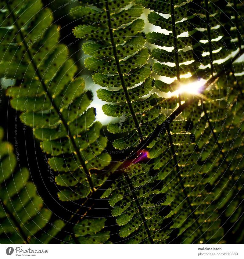 Farnblatt Echte Farne Blatt Sonne Gegenlicht Blendenfleck Sommer Herbst grün Hoffnung Natur