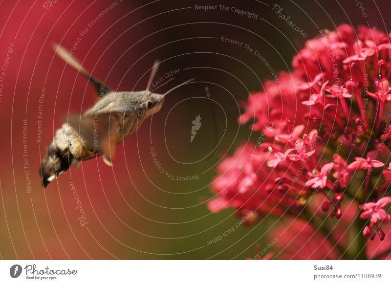 Luftbetankung Natur Pflanze Sommer Blume rot Tier Umwelt Wiese Frühling Blüte natürlich Essen Garten fliegen wild Wildtier