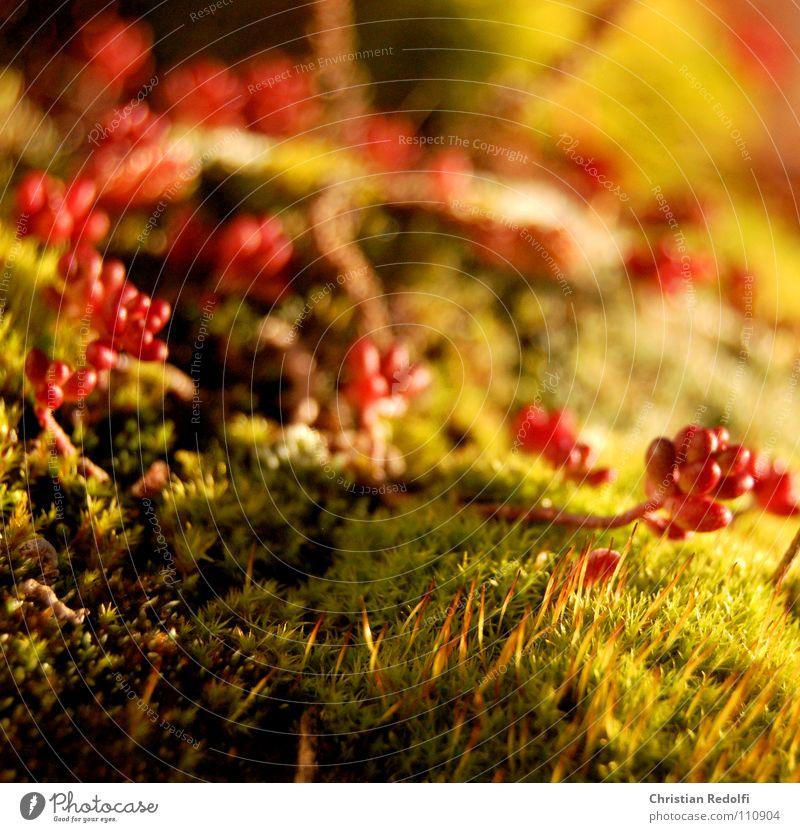 Sedum - Moos - Dachgarten Fetthenne grün rot Pflanze Blume Sonne Zisterne Herbst Makroaufnahme Nahaufnahme Dachbegrünung begrünung Sedum-Moss Sedum acre