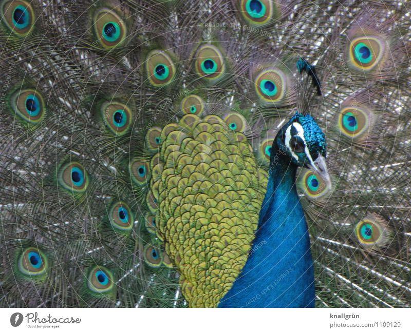 Von Natur aus schön Tier Pfau 1 beobachten Blick natürlich blau mehrfarbig Gefühle eitel elegant Farbe Stolz majestätisch Pfauenfeder Feder Farbfoto