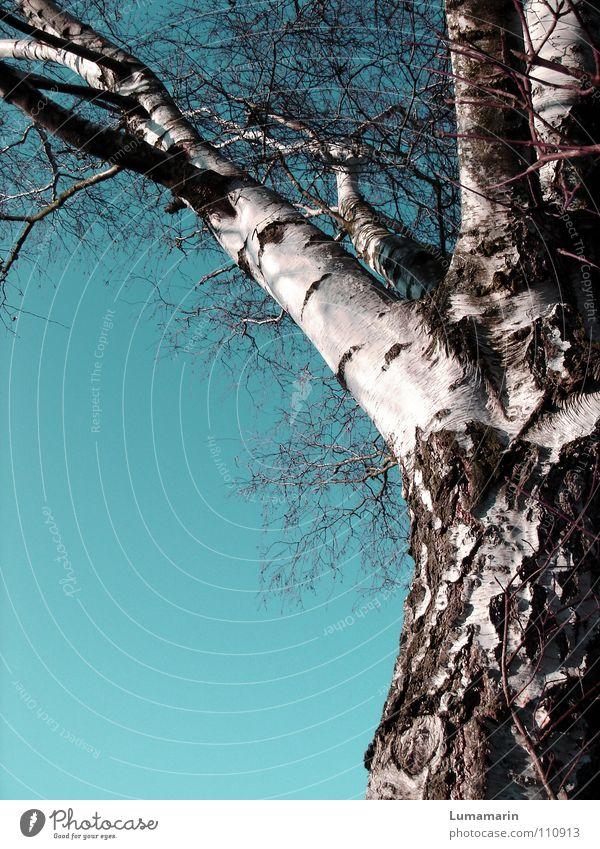 Entblättert Baum Baumstamm Geäst Birke Holz laublos Winter kalt ruhig weiß braun Vergänglichkeit Ast Betulaceae Birkenholz Winterschlaf Himmel Klarheit blau