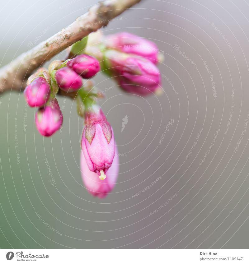 Frühling I Natur Pflanze Sträucher neu schön braun grau rosa Farbe Fortschritt Neuanfang Blütenknospen Stempel Blütenstempel zartes Grün Beginn Ast Duft