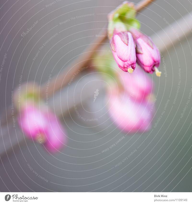 Frühling II Natur Pflanze Blume Sträucher Blüte Garten grau grün rosa Blütenknospen Blütenstempel Zweig Wachstum Erneuerung warten geschlossen Fortschritt
