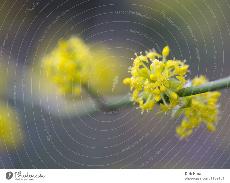 Frühling III Natur Pflanze Blume Blüte Garten Park neu gelb grau grün Neuanfang Beginn Erneuerung Stempel Blütenknospen Blühend schön Ast zart sensibel Duft
