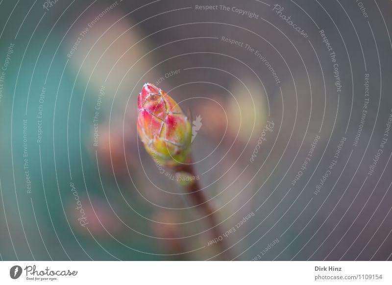 Knospe - Endlich Frühling! Natur Pflanze Frühlingsgefühle Vorfreude Willensstärke Vertrauen Leben Erwartung rein Schutz Umwelt Wachstum Wandel & Veränderung