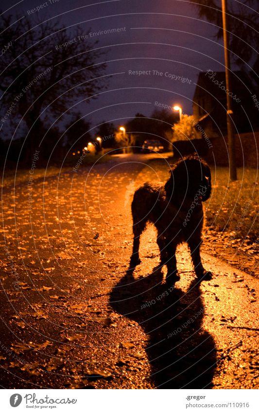 Novembernacht (2) ruhig Blatt schwarz Straße dunkel Herbst grau Hund Regen nass Spaziergang fallen geheimnisvoll Laterne feucht Säugetier