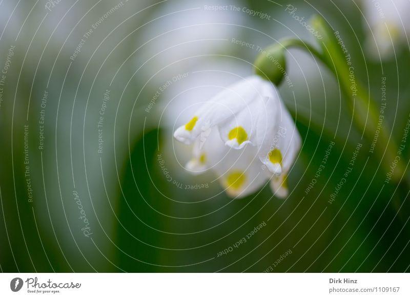 Märzenbecher I Natur Pflanze grün weiß Umwelt gelb Frühling Blüte Garten Wachstum leuchten frisch Lebensfreude Blühend Zeichen Hoffnung