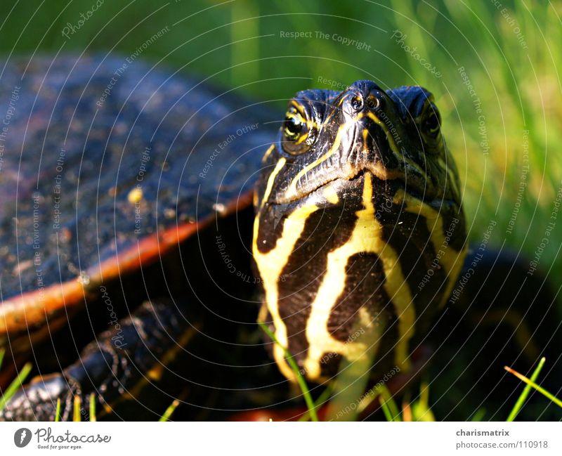 Die gepanzerte Elsbeth Schildkröte Makroaufnahme grün Natur Nahaufnahme Blick