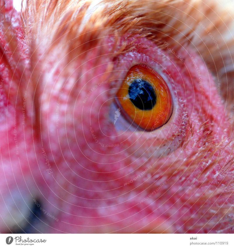 Beute! Auge Ernährung Tier Angst Lebensmittel Jagd Kontrolle Wachsamkeit Panik Vorsicht Haushuhn krumm Futter Jäger Opfer