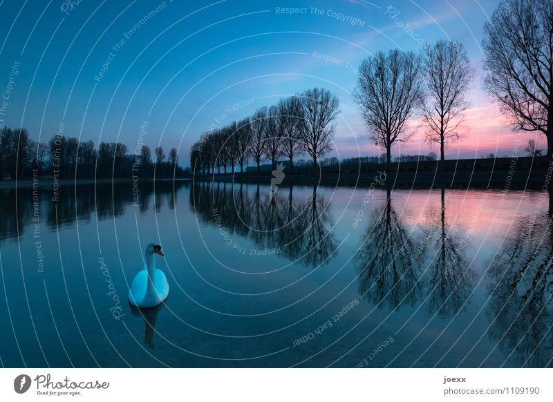 Allein Landschaft Himmel Sonnenaufgang Sonnenuntergang Herbst Schönes Wetter Baum See Wildtier Schwan 1 Tier Schwimmen & Baden schön blau orange schwarz weiß