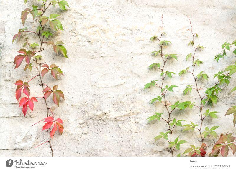 Fassadenkletterer Herbst Pflanze Blatt Grünpflanze Mauer Wand festhalten Vergänglichkeit Zusammenhalt Klettern wachsen Wilder Wein Blätter Farbfoto