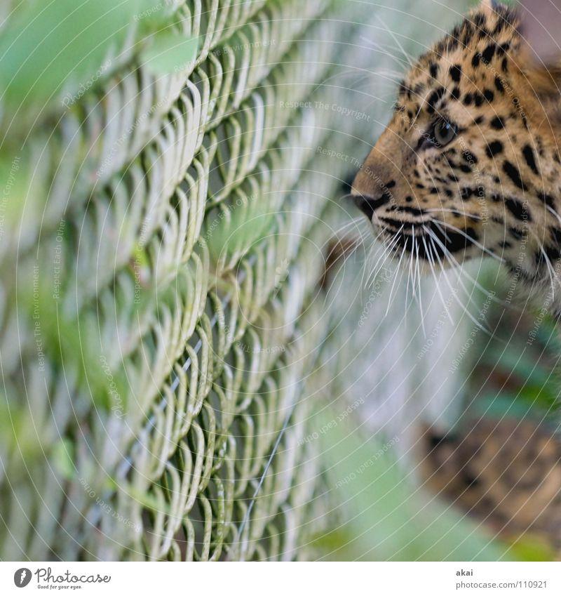 Beute? schön Auge Tier Tiergesicht beobachten Zoo Konzentration Zaun Wachsamkeit gefangen Vorsicht Jäger Gehege achtsam Leopard Schnurrhaar