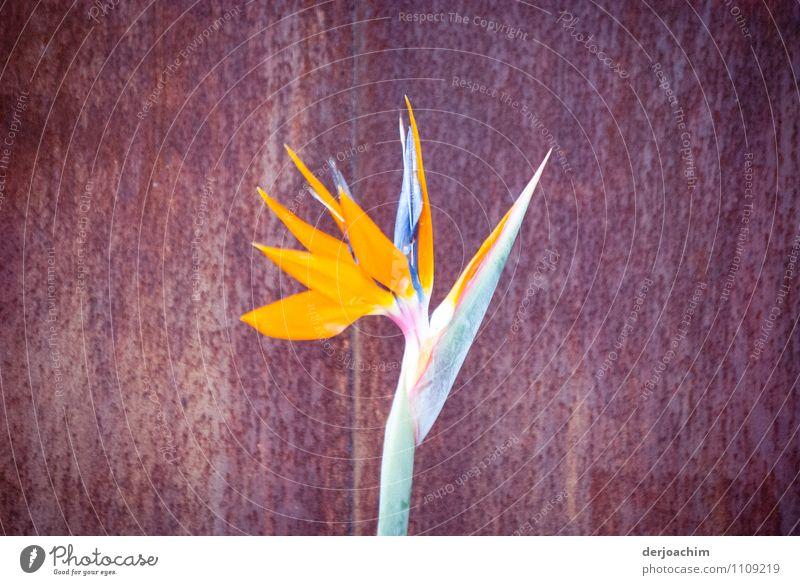 Eingeschränkt Pflanze Sommer Blume ruhig gelb natürlich Garten elegant ästhetisch Ausflug beobachten Blühend Schönes Wetter Schutz entdecken Stahl