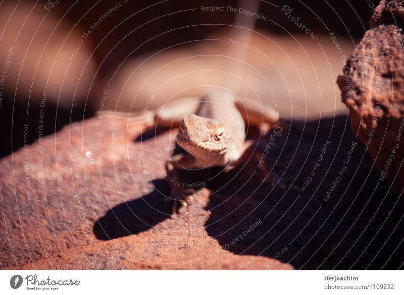 Ein roter Gecko ruht sich im Halbschatten auf dem roten Felsen im Kings Canyon aus. elegant harmonisch Freizeit & Hobby Ausflug Natur Erde Wolkenloser Himmel