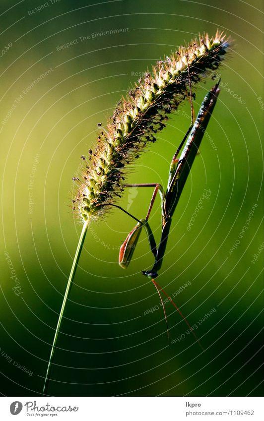 die darauf warten zu töten Pfote braun grün Farbe lkpro Gottesanbeterin Religiosa natura Natur colori verde Marone Insetto Insekt zampe Mantide Mantoidei