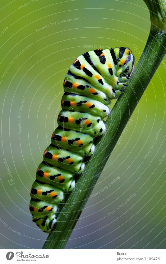 ee von wildem Fenchel Garten Natur Weiche blau braun grün schwarz Farbe lkpro Ritterfalter Papilio Makaone Bruco schmalzig Farfalle verde colori Marone giardino