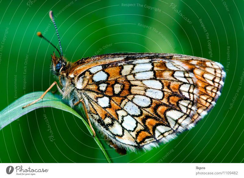 in einem Blatt ruhend Garten Natur Baum Weiche Fluggerät wild blau braun grün schwarz Farbe lkpro Ritterfalter Papilio Makaone Bruco schmalzig Farfalle verde