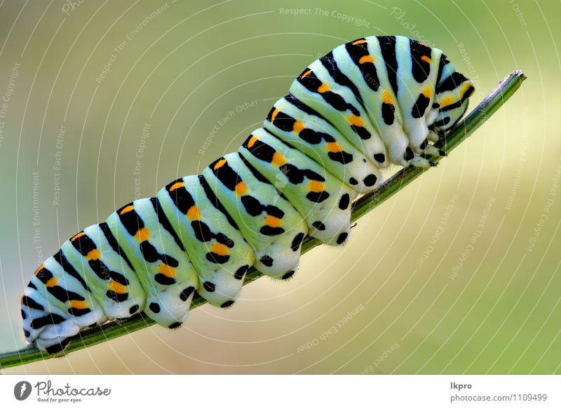 von wildem Fenchel Garten Natur Baum Weiche blau braun grün schwarz Farbe lkpro Ritterfalter Papilio Makaone Bruco schmalzig Farfalle verde colori Marone