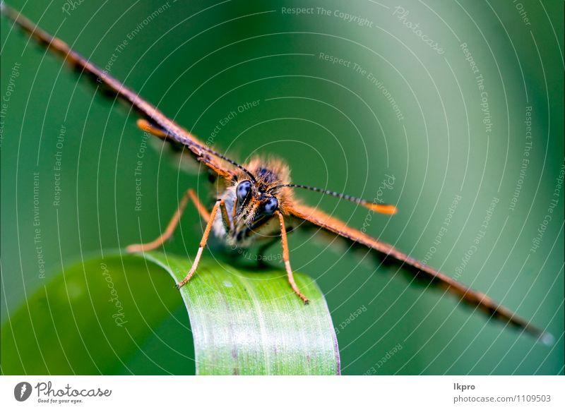eines braunen Schmetterlings. Garten Natur Baum Blatt Weiche Fluggerät wild blau grün schwarz Farbe lkpro Ritterfalter Papilio Makaone Bruco schmalzig Farfalle