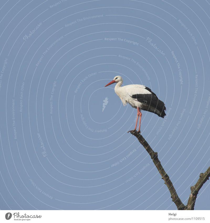 alles im Blick... Umwelt Natur Pflanze Wolkenloser Himmel Frühling Schönes Wetter Baum Ast Tier Wildtier Vogel Storch Weißstorch 1 stehen warten ästhetisch