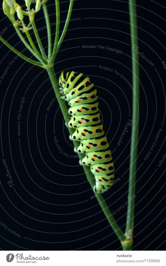 Raupe, Schwalbenschwanz, Natur Tier Wildtier Schmetterling frei gelb schwarz Papilio machaon Tagfalter Insekt Edelfalter Fleckenfalter Edelschmetterling