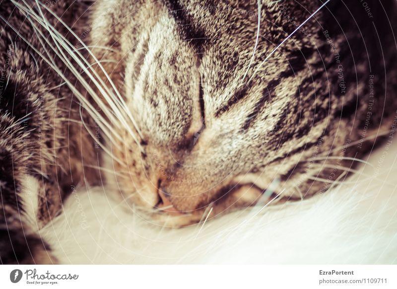 Loki Katze Erholung ruhig Tier braun träumen schlafen Nase Fell Haustier Tiergesicht ruhen Schnurrhaar