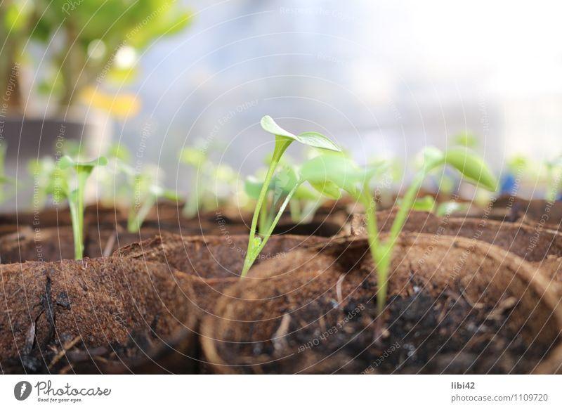 junge Pflanze Gemüse Kräuter & Gewürze Zufriedenheit Meditation Gartenarbeit Gärtnerei Natur Tier Urelemente Erde Frühling Blatt Grünpflanze Nutzpflanze Glück