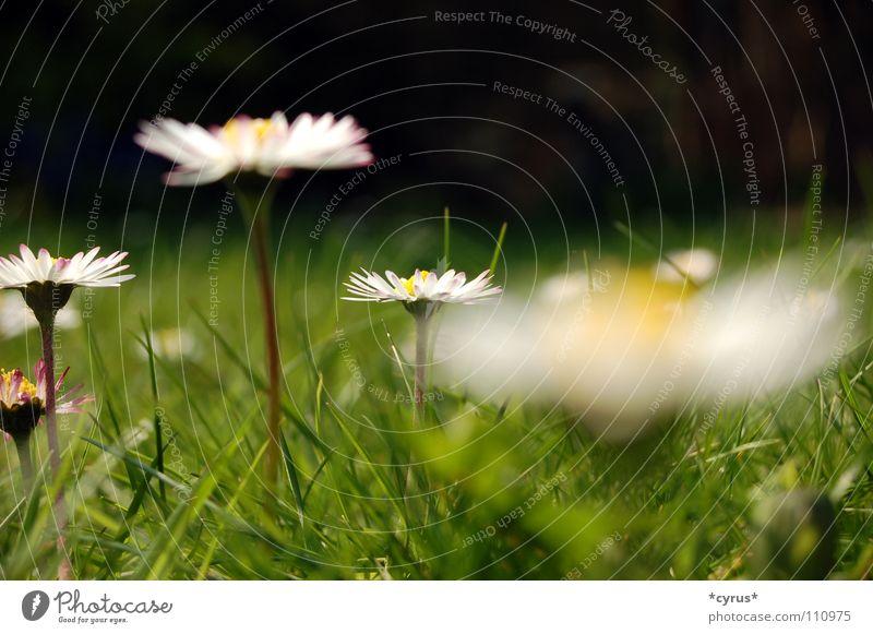 Gänseblümchen Blume Sommer Wiese Gras Rasen Gänseblümchen Sommertag