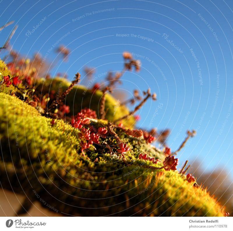 Sedum - Moos - Dachgarten ² Fetthenne grün rot Pflanze Blume Zisterne Herbst Makroaufnahme Nahaufnahme Dekoration & Verzierung Dachbegrünung begrünung