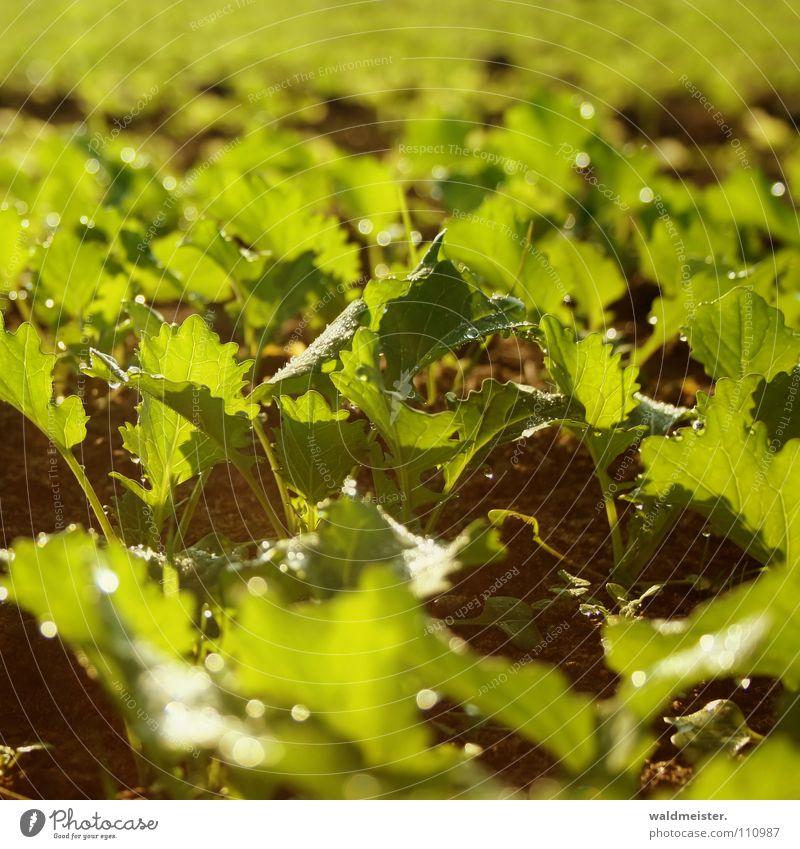 Rapsfeld Pflanze Feld Erde Boden Landwirtschaft ökologisch Bioprodukte Biologische Landwirtschaft Öl Jungpflanze Biodiesel Biokraftstoff Rapsöl Feldfrüchte