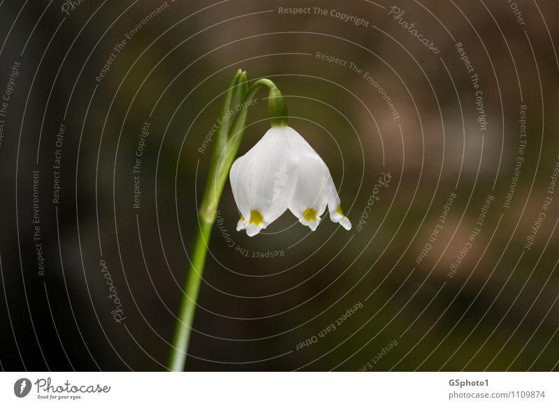 Frühlingsknotenblume Natur Pflanze grün weiß Blume Blüte leuchten Schönes Wetter Grünpflanze
