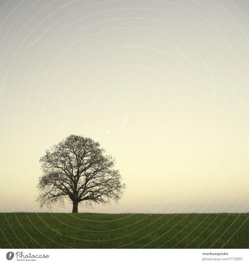 ohne blätter abgelegen Baum Blume Blumenwiese dunkel Einsamkeit Gras Linde Natur Pflanze Himmel Sonnenuntergang Wiese trüb einzeln alone apart dark darkly