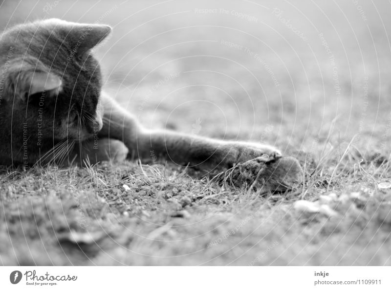 dangermouse ( wehrt sich! ) Tier Wiese Haustier Wildtier Katze Maus 2 Tierpaar Jagd kämpfen Spielen Gefühle Tapferkeit selbstbewußt Neugier Angst Todesangst
