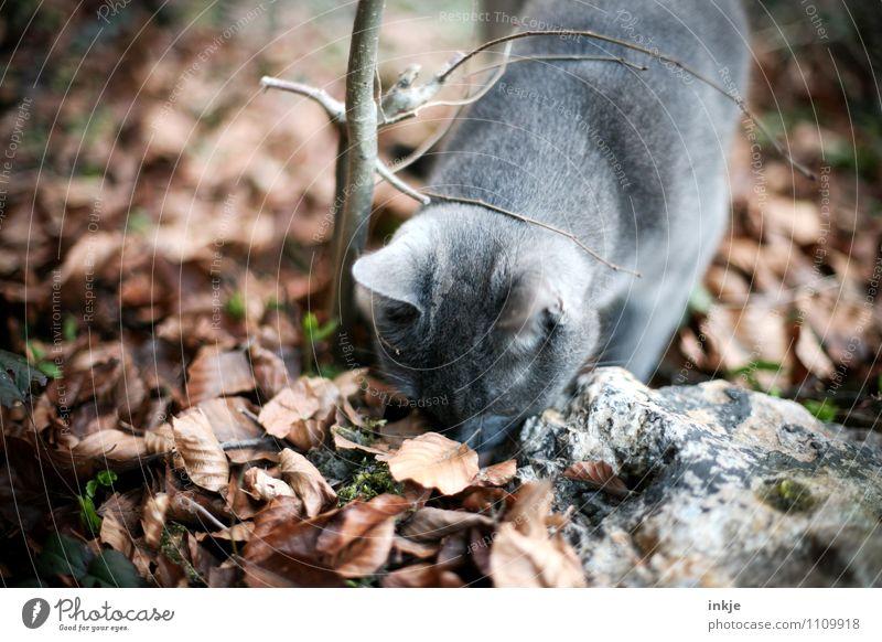 5 Jahre Entdeckungsreise ! Herbst Schönes Wetter Blatt Waldboden Garten Park Haustier Katze 1 Tier Blick natürlich Neugier braun grau Gefühle Stimmung Interesse