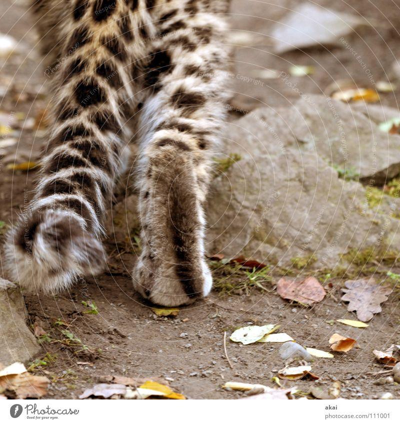 Auf leisen Sohlen........ Tier Futter Wachsamkeit Kontrolle Jäger Jagd krumm Angst Leopard Spielen ruhig Konzentration Pfote Schwanz Zoo Landraubtier Raubkatze