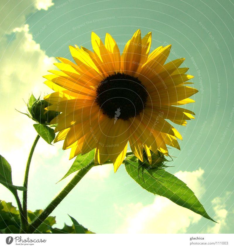 Sunflower Natur Himmel Sonne Blume grün blau Sommer Wolken gelb Herbst Wärme Landschaft Stimmung Beleuchtung Fröhlichkeit Blühend