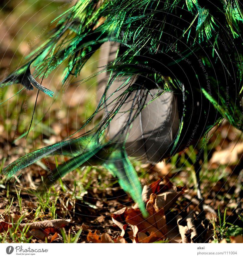 Racing Pfau 2-für Emma Tier Wachsamkeit Kontrolle Jäger Jagd krumm Zoo Frieden schön Vogel Vorsicht akai jörg joerg FR-PC Usertreffen emma für emma