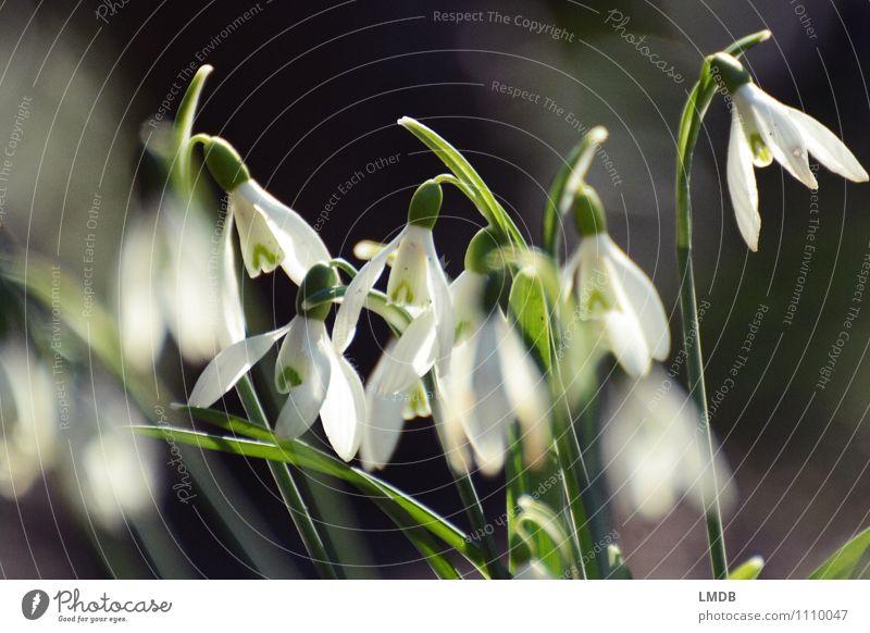 Schneeglöckchen, aber echt! Natur Pflanze Blume Wildpflanze schwarz weiß Frühling Frühlingsblume Frühlingsblumenbeet Blühend Glocke Frühblüher Knollengewächse