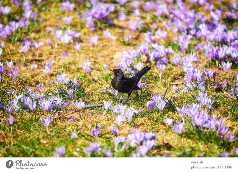 Amsel Flügel Schnabel Vogel Wiese Gras wild Tier Lebensmittel Jagd Nahrungssuche Ornithologie wildlife Drossel Krokusse Blume Blüte florescence Blühend Pflanze