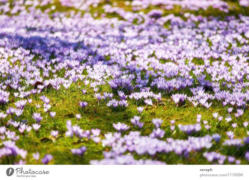 Krokusse Staubfäden Blume Blühend Blüte Blütenkette Pflanze Safran Romantik Frühling Blumenstrauß Ostern Wiese Geruch geblümt Blütenblatt Natur Garten niedlich