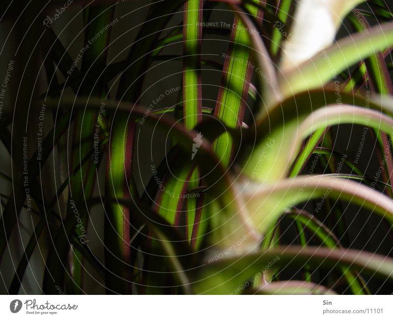 Pflanze Blatt schmal Planze