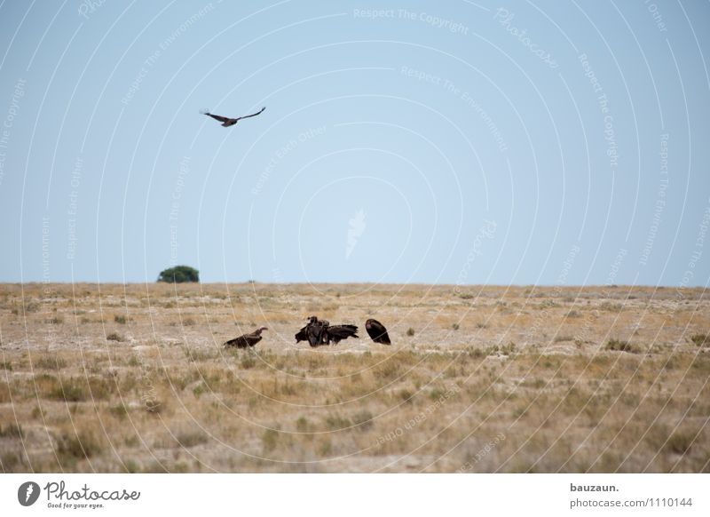 ihr aasgeier. Natur Ferien & Urlaub & Reisen Sommer Landschaft Tier Ferne Umwelt Wärme Gras Freiheit fliegen Erde Tourismus Wildtier Ausflug beobachten