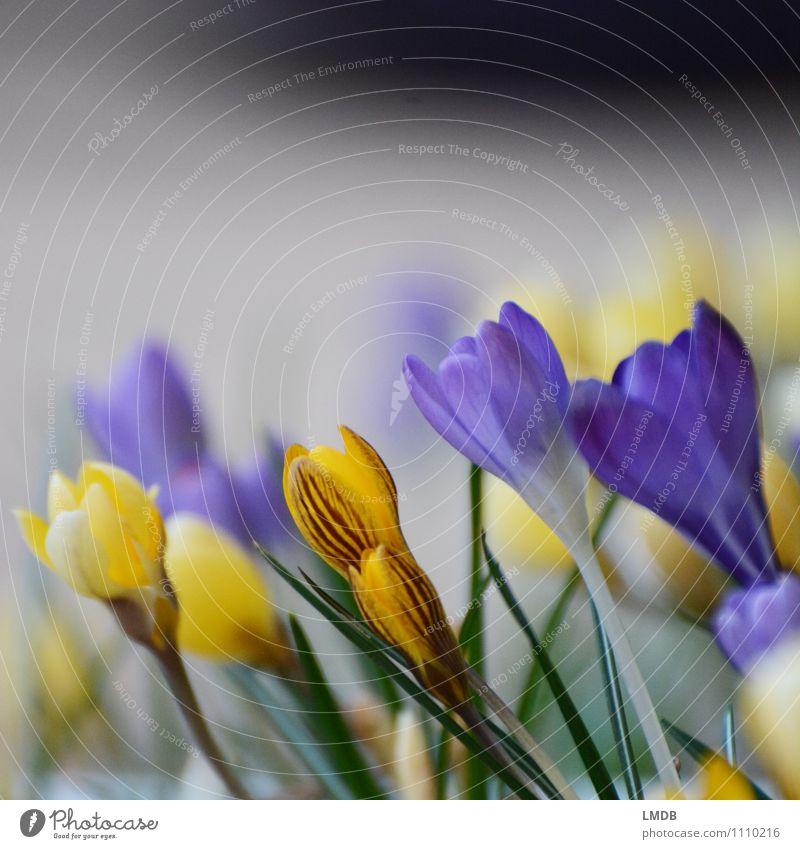 KROKant... ;) Umwelt Natur Pflanze Blume mehrfarbig gelb orange violett Krokusse Frühlingsblume Frühblüher Knollengewächse Blumenbeet Frühlingsblumenbeet