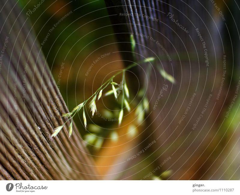 Kleines Feinchen Natur Pflanze Frühling braun grün Gras federartig Stengel zart Zaun Latte Lattenzaun Spalte Wachstum Samen aufwärts fein Halm Farbfoto