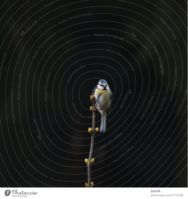 Watch out for Spring! Umwelt Frühling Pflanze Sträucher Fliederbusch Zweig Blattknospe Garten Park Wald Tier Wildtier Vogel Singvögel Meisen Blaumeise 1 Blick