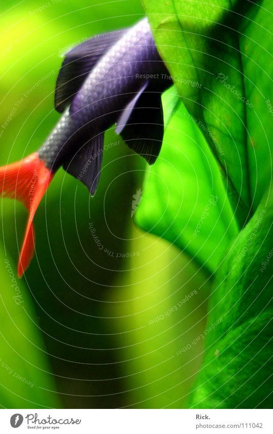 .Vogelstrauss grün Pflanze schwarz weiß Kieme Wasserpflanze Schüchternheit rot Unschärfe Aquarium Meerwasser kopflos Suche Teich weich Fisch Fluss Bach