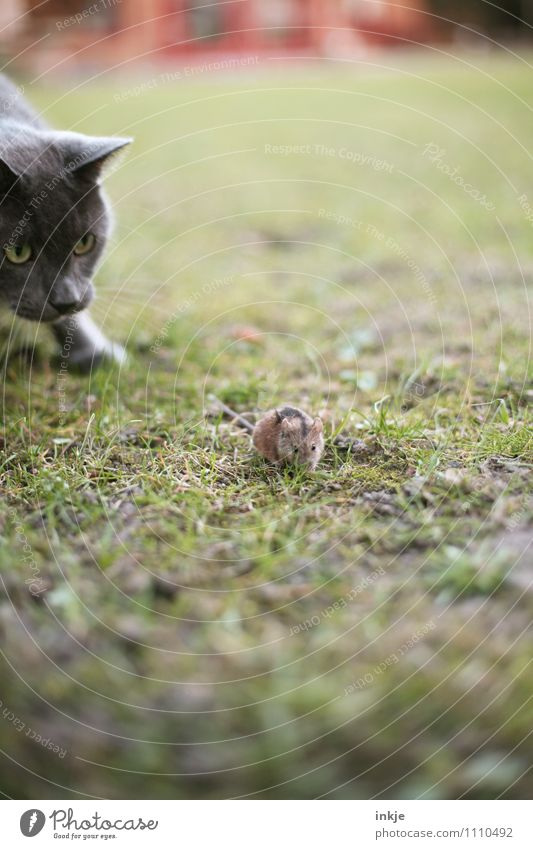 --- ---- ----> Tier Gras Garten Wiese Haustier Wildtier Katze Maus Tiergesicht 2 beobachten Jagd rennen klein Gefühle Tapferkeit Neugier Interesse Hoffnung