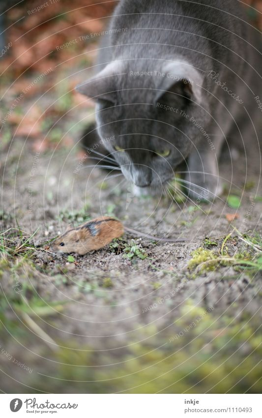 <--- --- - Garten Park Wiese Haustier Wildtier Katze Maus Tiergesicht 2 beobachten Jagd rennen klein Geschwindigkeit Gefühle Optimismus Neugier Interesse Angst