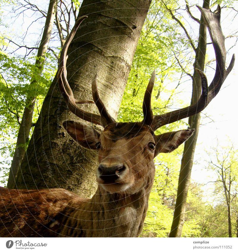 Der Hirsch Natur grün Baum Tier Auge Wald träumen Mund Angst Wildtier Macht Spitze Fell stark Mut Vergangenheit